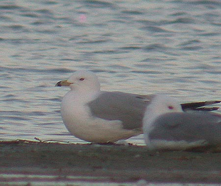 4206 Gull sp. Little Marlow GP.JPG (42178 bytes)