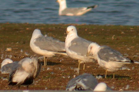 4241 Ring-billed Gull LMGP 3rd April 2003.JPG (29557 bytes)