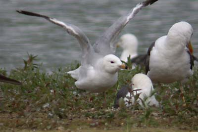 Ring-billed Gull 17-07-2004 1x.JPG (22556 bytes)