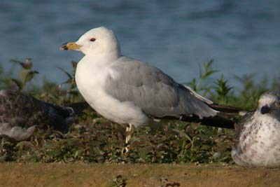 Ring-billed Gull 17-07-2004 2x.JPG (22828 bytes)