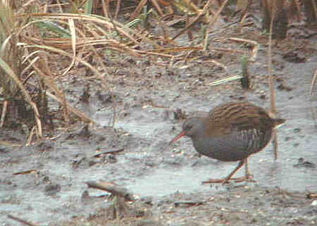 Water_Rail-S.JPG (19793 bytes)