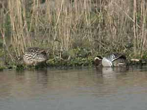 14 Feb 075 Garganey 29th March 2004fp.jpg (13852 bytes)